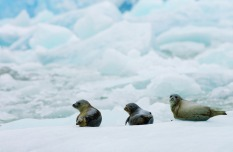 Seals on the Ice, Alaska